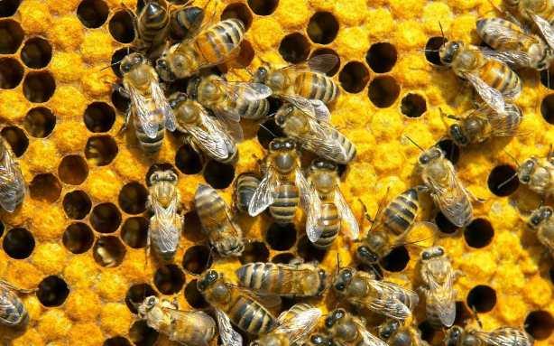 honeycomb-bees